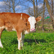The calf on a summer pasture. — Foto Stock