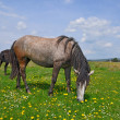Horse on a summer pasturef - Foto Stock