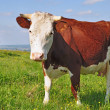 Cow on a summer pasture. - Foto Stock