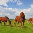 Horses on a summer pasturef - Foto Stock