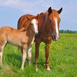 Foal with a mare on a summer pasture. - Foto Stock