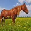 Horse on a summer pasturef — 图库照片