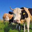 Cows on a summer pasture. - Foto Stock