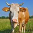 Cow on a summer pasture. — Stockfoto