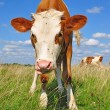 The calf on a summer pasture. - Foto Stock