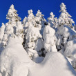 White firs  from snow — Foto Stock