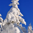 White firs  from snow - Foto Stock
