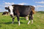 Bull on a summer pasture. — Stock Photo