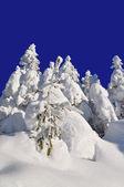 белый елей от снега — Стоковое фото