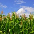 Green stalks of corn under clouds. — Stock Photo