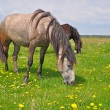 Horses on a summer pasture — Photo