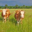 Cows on a summer pasture — Stockfoto