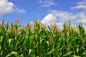 Green stalks of corn under clouds. — Foto Stock
