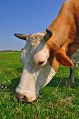 Vaca em uma pastagem de verão — Foto Stock