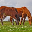 Horses on a summer pasture — Foto Stock