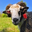 Foto Stock: Ram on summer pasture