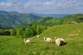 Sheep in mountains — Stock Photo