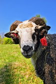 Ram on a summer pasture — Stock Photo