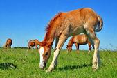 フォウルの夏の牧草地 — ストック写真