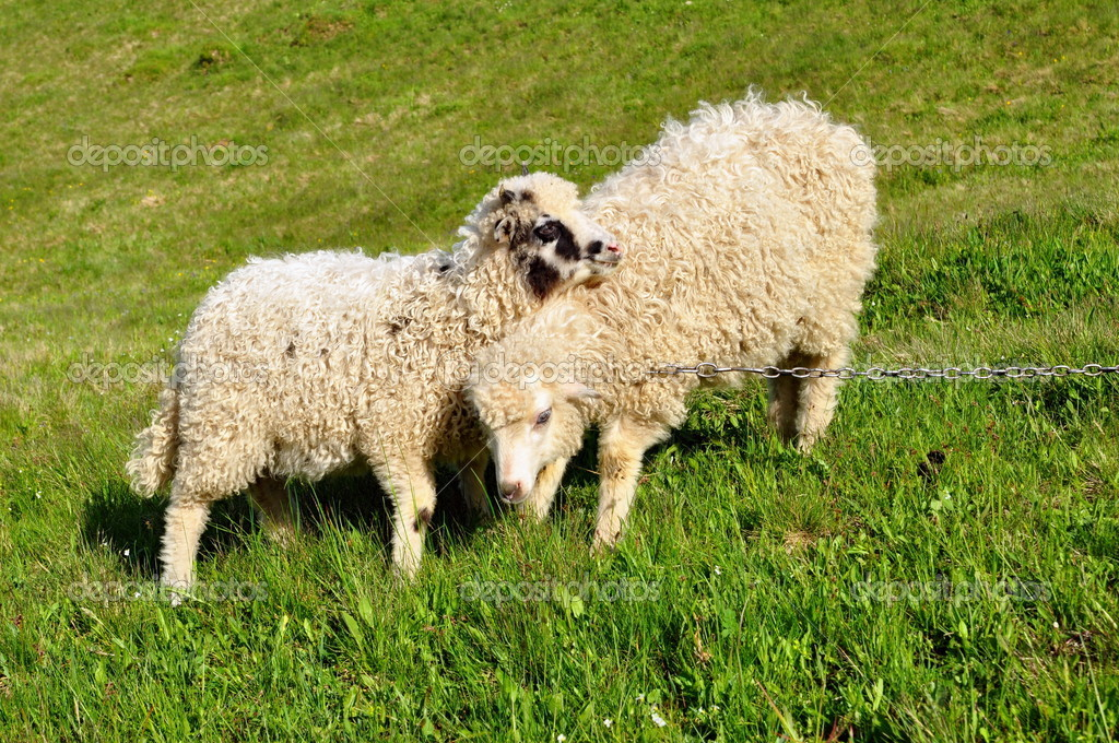 Sheep in a rural landscape. — Stock Photo #9360787