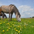Horses on a summer pasture - Stock fotografie