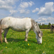 Horses on a summer pasture - Foto Stock