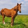 Horse on a summer pasture - Foto Stock