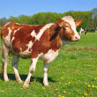 The calf on a summer pasture - Stock fotografie