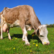 Cow on a summer pasture. - Stock Photo