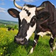 Cow on a summer pasture. — Foto Stock