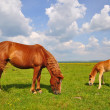 Foal with a mare on a summer pasture. — 图库照片