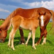 Foal with a mare on a summer pasture. — Stock Photo