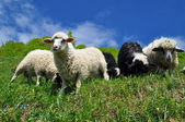 Sheep in a rural landscape. — Stock Photo