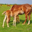 Foto Stock: Foal with mare on summer pasture.