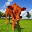 The calf on a summer pasture. — Stock Photo #9527973