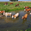 Cows on a watering place — Stock Photo #9528108