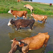Stock Photo: Cows on a watering place