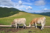 Calfs on a summer mountain pasture — Stock Photo