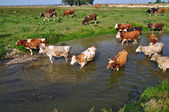 Cows on a watering place — Foto Stock