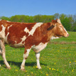 Stock Photo: The calf on a summer pasture.