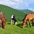 Foto Stock: Horses on summer pasture.