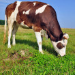 The calf on a summer pasture. — Stock Photo #9590469