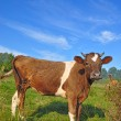 The calf on a summer pasture. — Stock Photo #9590748