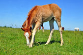Foal on a summer pasture — 图库照片