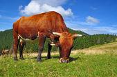El ternero en un pastizal de montaña de verano — Stok fotoğraf