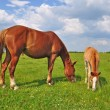 Foal with a mare on a summer pasture. — Lizenzfreies Foto