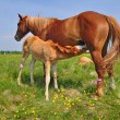 Foal with mare on summer pasture. — Stock Photo #9719458