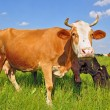 Cows on a summer pasture — Stock Photo #9719478