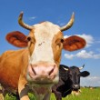 Cows on a summer pasture — Stock Photo #9719480