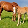 Foal with a mare on a summer pasture — Photo